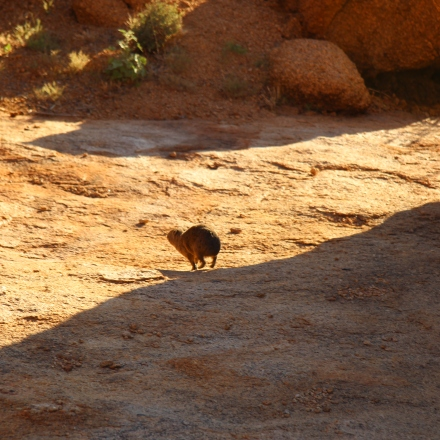 Cute wee rodents running around on the rocks