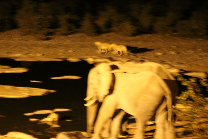 Extremely blurry shot of the lions watching the elephants. Clearly I was a bit overexcited!