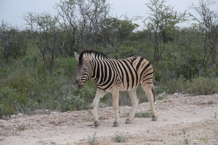 Zebra right outside camp just wandering along