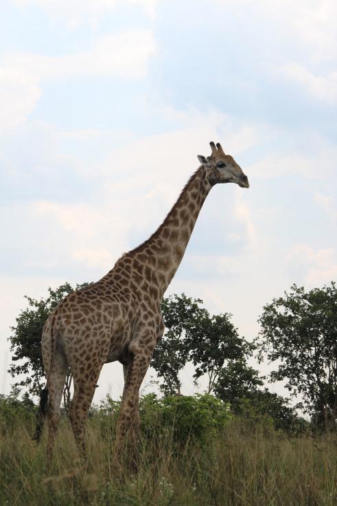 Giraffe and Zebra dotted the route to Savuti.